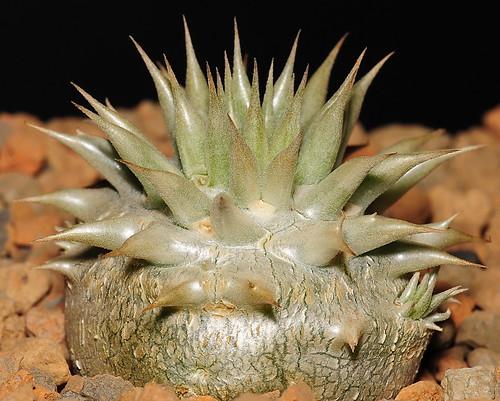 Pachypodium eburneum