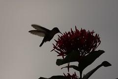 Humming bird in grenada