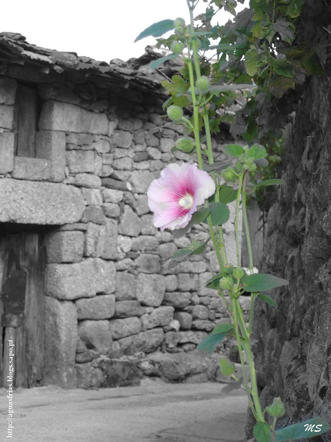 Águas Frias - Flor campestre