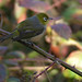 Silvereye by nightboss54