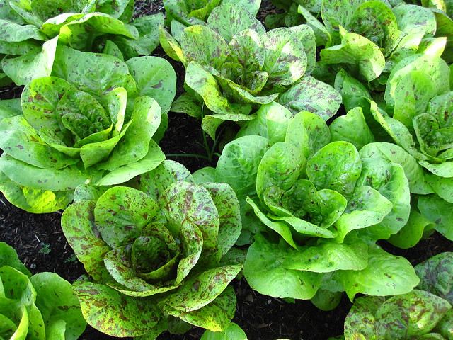 Romaine freckles lettuce (Lactuca sativa) looking tasty in the Herb Garden. Photo by Rebecca Bullene.