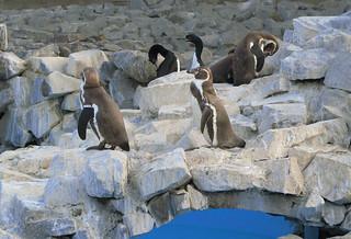 Pinguinos/ Parque de Las Leyendas (Lima , Peru)