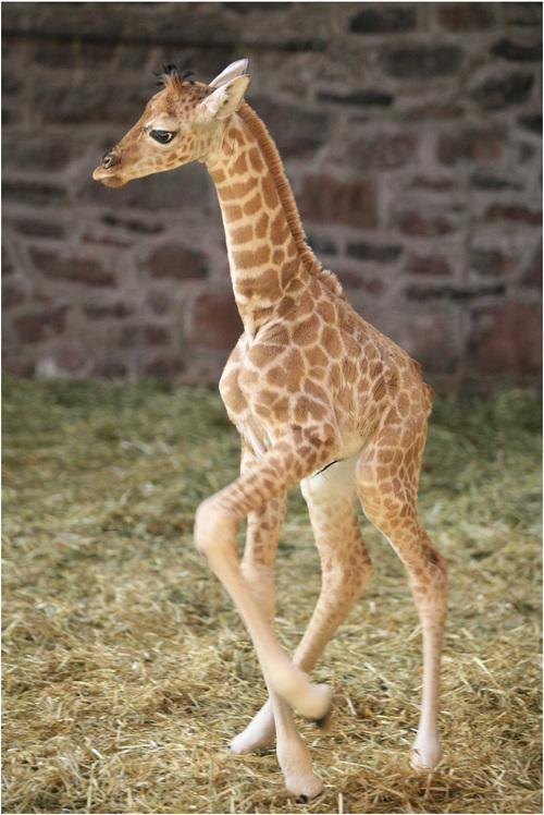 Baby Giraffe Flickr Photo Sharing