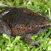 Eastern Narrow-mouthed Toad - Photo (c) Patrick Coin, some rights reserved (CC BY-NC-SA)