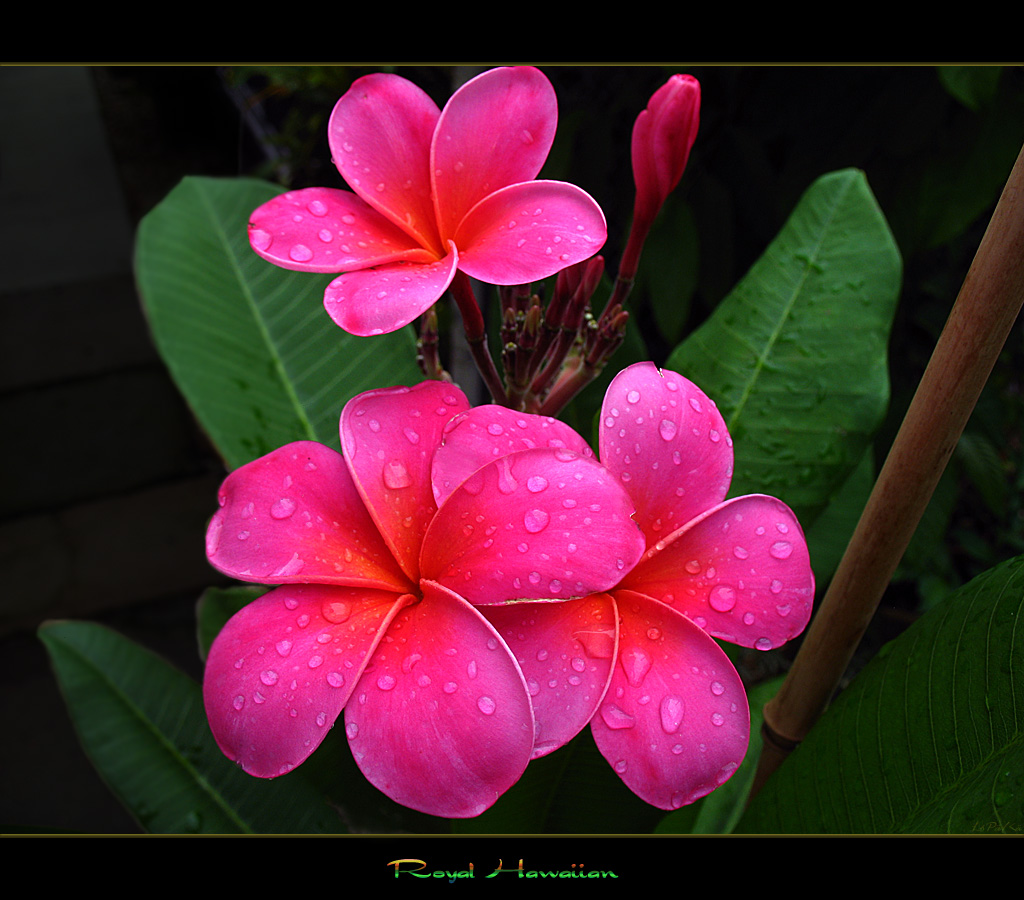 Hawaiian flowers the plumeria royal hawaiian a photo on flickriver hawaiian flowers the plumeria royal hawaiian izmirmasajfo