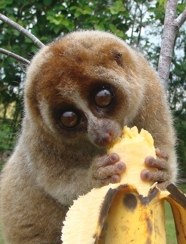 Slow loris of Borneo (Nycticebus coucang)