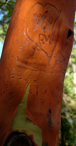 how the bark healed on this Arbutus branch after it was carved with graffiti (Sunshine Coast, BC)