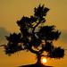 Bonzai Tree at Sunset