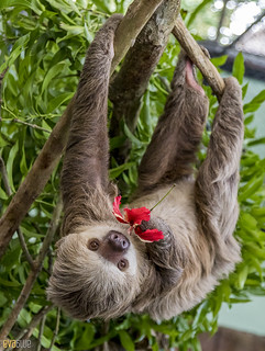 Hoffmann's two-toed sloth Gamboa Wildlife Rescue pandemonio 2017 - 24 | by Eva Blue