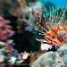 Lionfish - Mantehaage