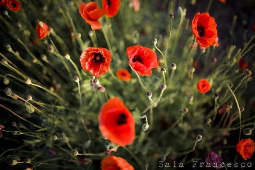italy nature colors sunrise canon italia alba bokeh f14 natura poppy 5d colori friuli papavero 35l pradamano