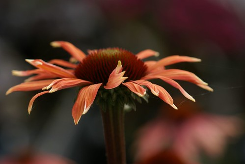 Echinacea lighting up...