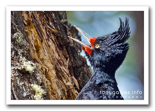Carpintero gigante / Magellanic woodpecker
