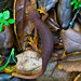 California Newt - Photo (c) Ken-ichi Ueda, some rights reserved (CC BY-NC)
