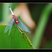 Red-faced Dragonlet - Photo (c) Adrián Afonso, some rights reserved (CC BY-NC-SA)