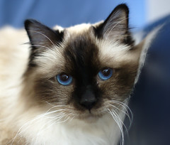 domestic long-haired cat, animal, siamese, small to medium-sized cats, snout, snowshoe, fauna, ragdoll, thai, tonkinese, close-up, cat, carnivoran, whiskers, balinese, birman, domestic short-haired cat,