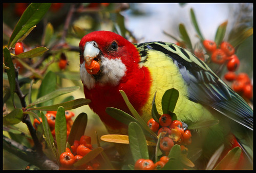 Eastern Rosella, Rivett11 (16)