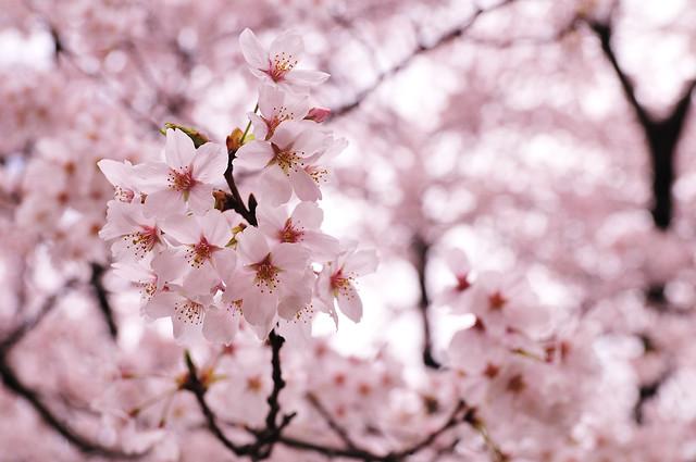 Cherry blossoms_11