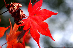 red leaf on a japanese maple in our front yard    MG…