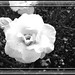 Black And White Of A Yellow Rose