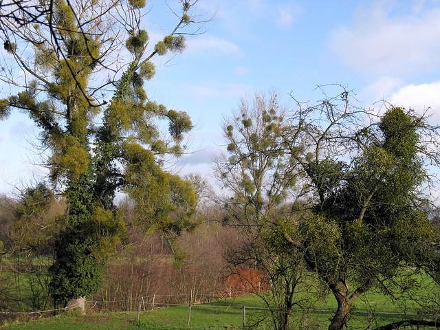 Charakterystyczne kule jemioły na drzewach