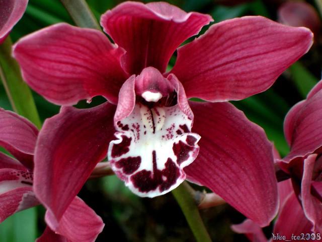 Blut Orchidee