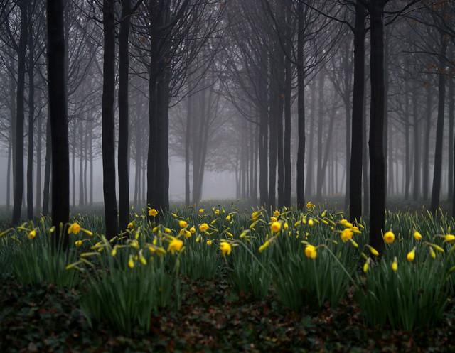 1030 February Daffodils