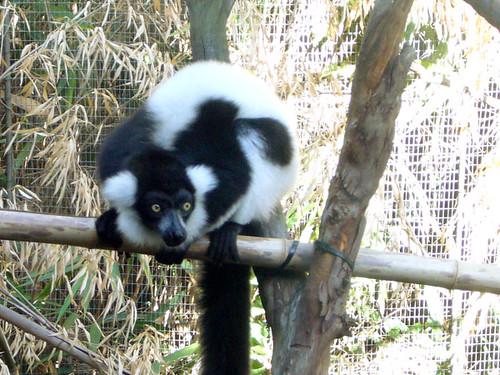 Madagascar 3 Lemur Song lemur | from madagasca...