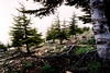 Cedars of Lebanon