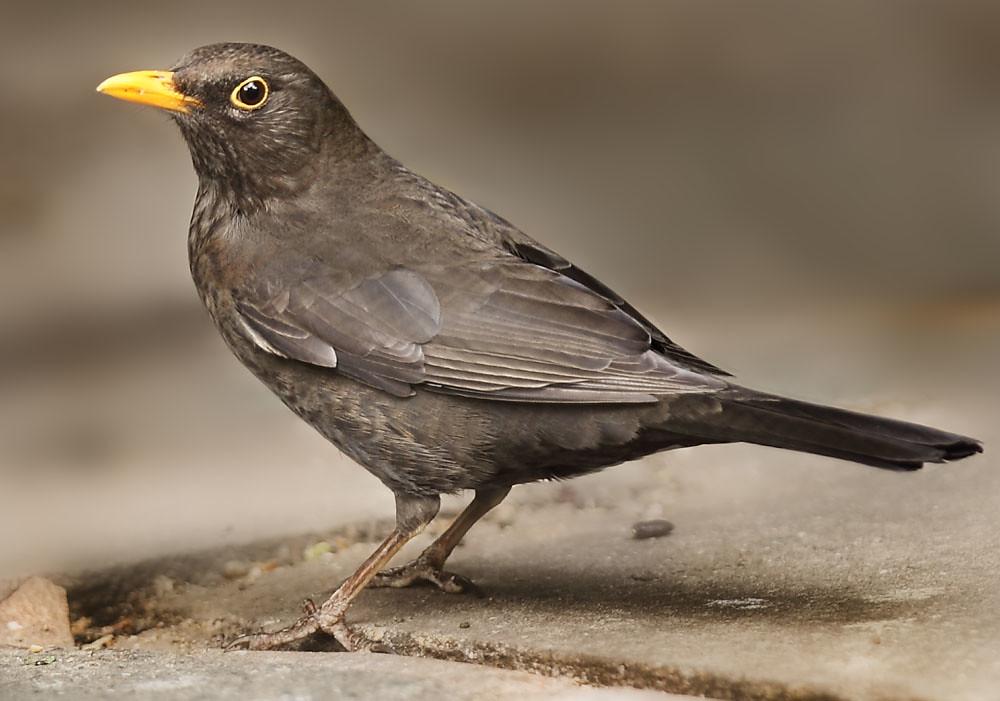 Female Blackbird  my garden South London