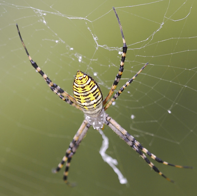 Flickr photo sharing for What does a garden spider look like
