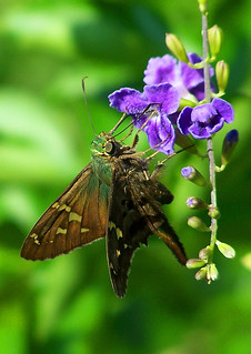 The Skipper Butterfly