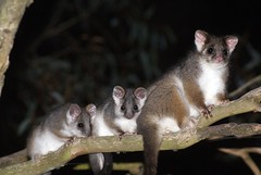 Common Ringtail Possum - Photo (c) David Cook Wildlife Photography, some rights reserved (CC BY-NC)