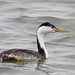Clark's Grebe - Photo (c) Len Blumin, some rights reserved (CC BY-NC-ND)