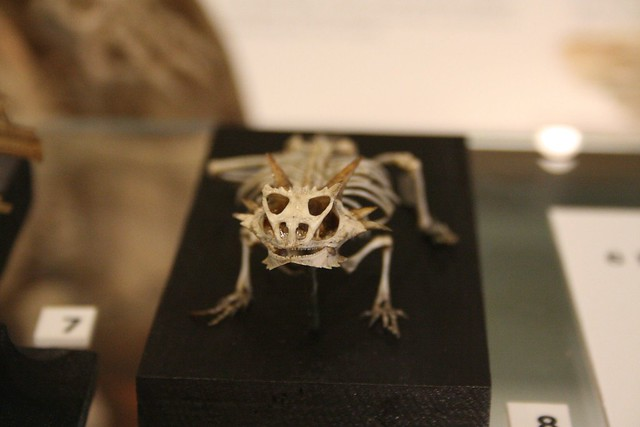 Horned Lizard Skeleton | Flickr - Photo Sharing!