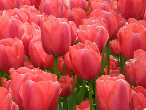 Pink Tulips Keukenhof Netherlands