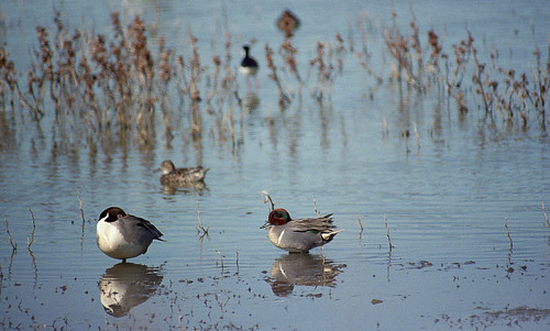 Green-winged Teal AHM 4-12 1