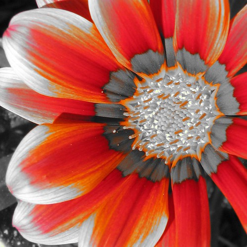 Gazania in Red and Orange