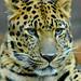 Amur leopard by ucumari photography