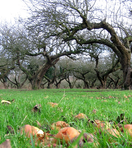 The Old Apple Orchard, Wisbech St. Mary by scrumpyboy
