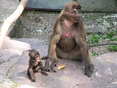 chimpanzee(0.0), tufted capuchin(0.0), capuchin monkey(0.0), common chimpanzee(0.0), animal(1.0), baboon(1.0), monkey(1.0), mammal(1.0), fauna(1.0), old world monkey(1.0), new world monkey(1.0), macaque(1.0), ape(1.0),