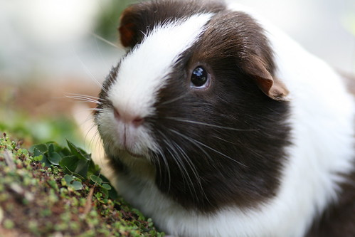 Jenny the Guinea Pig by Minabea