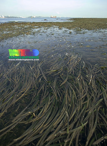 Cyrene Reef: Seagrass meadows