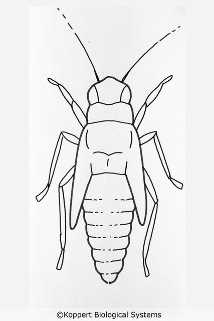 Empoasca vitis nymph drawing grape leafhopper Koppert Biological Systems 9102