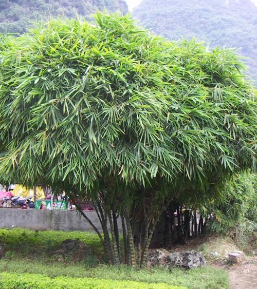 Bambusa tuldoides 2426646165_7af76a9197_o