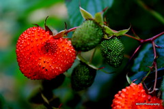 shrub(0.0), flower(0.0), strawberry(0.0), plant(0.0), wine raspberry(0.0), produce(0.0), food(0.0), evergreen(1.0), strawberries(1.0), strawberry tree(1.0), macro photography(1.0), fruit(1.0),