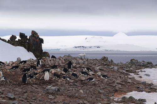 079 Wandeling Halfmoon Island - kinbandpinguins en zuidpoolkippen