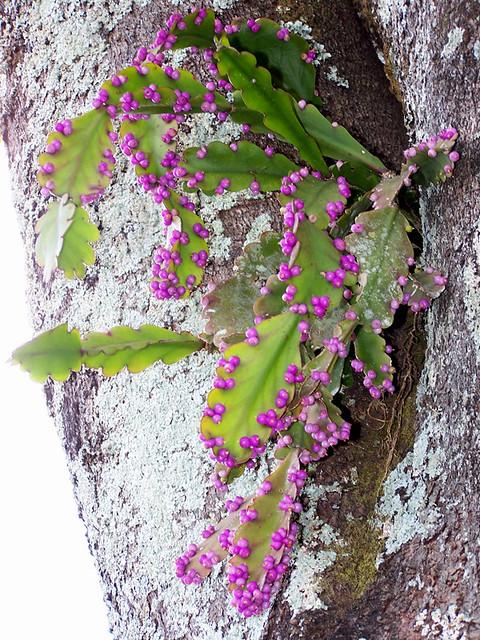 Rhipsalis russellii