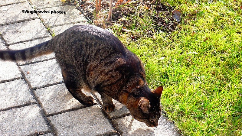 Tabby having a sniff in the garden