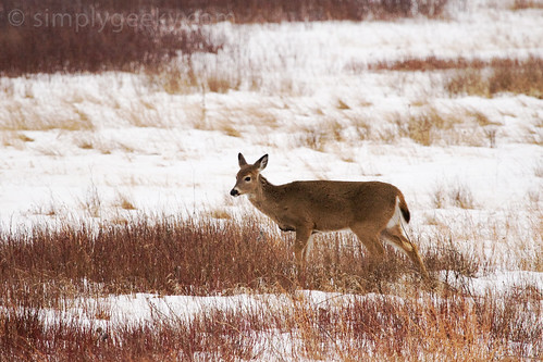 Deer Braving The Cold Meadow (Shenandoah National Park)